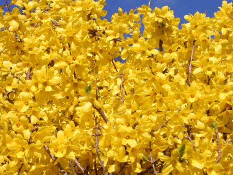 Форекс-трейдеры и брокеры, знакомьтесь, наш сегодняшний герой: форзиция – удивительное растение. Невероятные жёлтые веточки, свисающие с куста